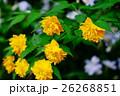 植物 バラ科 ヤマブキの写真 26268851