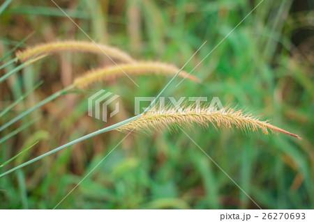 Reeds grass background. 26270693