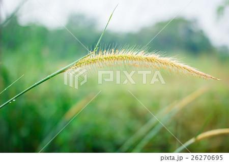 Reeds grass background. 26270695