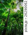 ヘゴの原生林 26290062