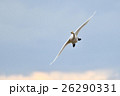 白鳥 野鳥 鳥の写真 26290331
