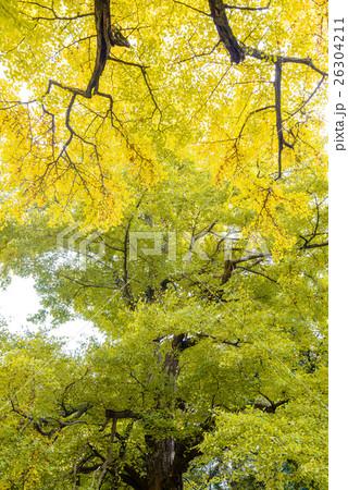 秋のイチョウ 26304211