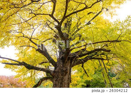 秋のイチョウ 26304212