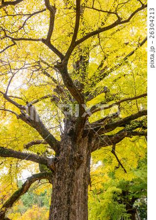 秋のイチョウ 26304213