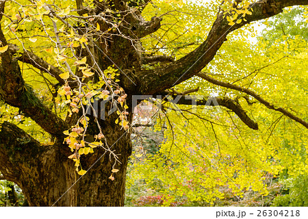 秋のイチョウ 26304218