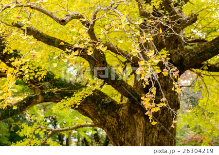 秋のイチョウ 26304219