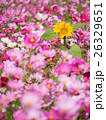 コスモス ヒマワリ 花の写真 26329651