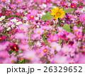 コスモス ヒマワリ 花の写真 26329652