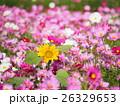コスモス ヒマワリ 花の写真 26329653