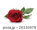 one dark red rose isolated on white 26330978