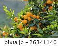 静岡県みかん畑 26341140