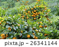 静岡県みかん畑 26341144