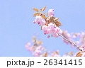 桜 ヤエザクラ 八重の写真 26341415