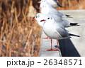 ユリカモメ 鳥 野鳥の写真 26348571