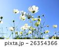 コスモス 花 野花の写真 26354366