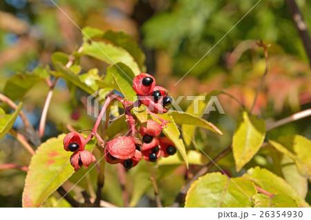 樹木:ゴンズイ ミツバウツギ科 26354930