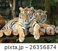 動物 ベンガル タイガーの写真 26356874