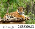 ベンガル 大きい 森林の写真 26356983