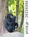 バナナ 実芭蕉 チンパンジーの写真 26356988