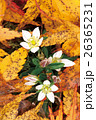 落葉とセンブリ 26365231