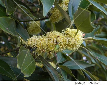 ぎっしり咲いているのはシロダモの黄色い花 26367508