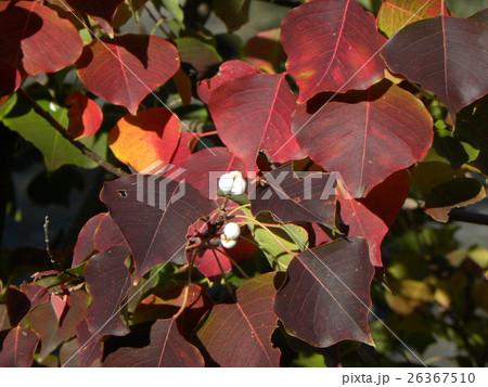 色付いたたナンキンハゼの葉と白い蝋に包まれた種 26367510