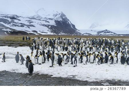 雪の上に集まるキングペンギン ...