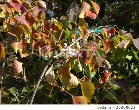 色付いたたナンキンハゼの葉と白い蝋に包まれた種 26368623