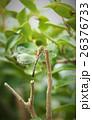とんぼ 蜻蛉 昆虫の写真 26376733