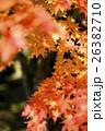 紅葉 モミジ 楓の写真 26382710