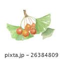銀杏 いちょう 実のイラスト 26384809