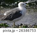 検見川の砂浜に大型の水辺の鳥セグロカモメ 26386753