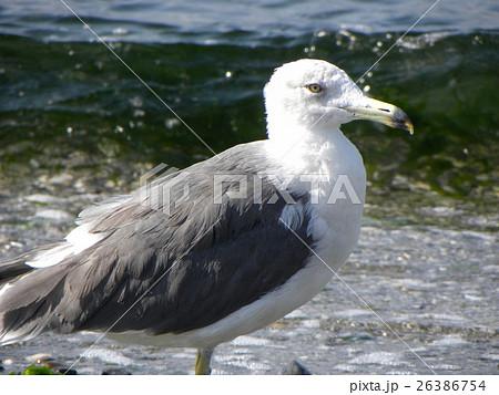 検見川の砂浜に大型の水辺の鳥セグロカモメ 26386754