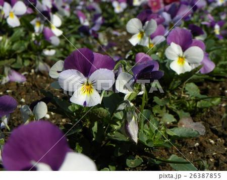 白と青い花のビヲラ 26387855