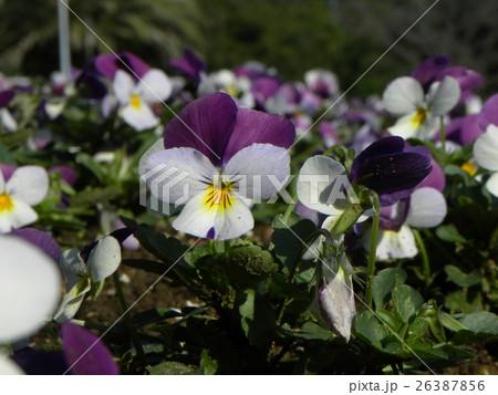 白と青い花のビヲラ 26387856
