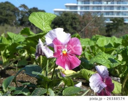 桃色の花のビヲラ 26388574
