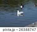 稲毛海浜公園に飛来したユリカモメとオナガガモ 26388747