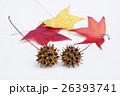 真赤に紅葉した葉と球果ボックリ「モミジバフウ」-2 26393741