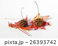真赤に紅葉した葉と球果ボックリ「モミジバフウ」-3 26393742