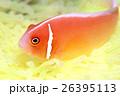 クマノミ ハナビラクマノミ 魚の写真 26395113