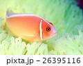 クマノミ ハナビラクマノミ 魚の写真 26395116