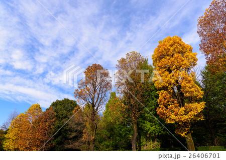 赤坂御用地 街路樹の紅葉10 26406701
