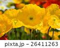 アイスランドポピー 花 黄色の写真 26411263