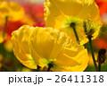 アイスランドポピー 花 黄色の写真 26411318