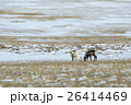 Herd of reindeer in Iceland 26414469