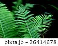シダ 植物 葉の写真 26414678