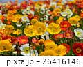 アイスランドポピー 花 花畑の写真 26416146