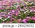 生駒高原のリビングストンデージー (宮崎県小林市) 26429032