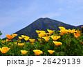カリフォルニアポピー 花菱草 夷守岳の写真 26429139