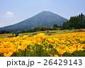 カリフォルニアポピー 花菱草 夷守岳の写真 26429143